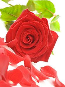 Hintergrundbilder Rosen Nahaufnahme Weißer hintergrund Rot Kronblätter Blüte