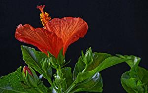Hintergrundbilder Hibiskus Großansicht Schwarzer Hintergrund Rot Knospe Blumen