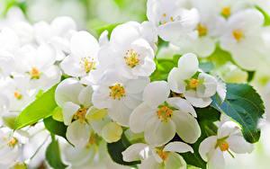 Bilder Blühende Bäume Großansicht Ast Blumen