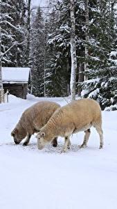 Bilder Winter Hausschaf Schnee 2 Tiere