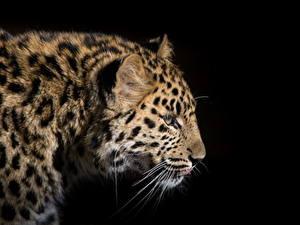 Bilder Große Katze Leopard Schwarzer Hintergrund Schnurrhaare Vibrisse Tiere