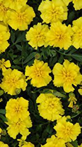 Fotos Studentenblume Nahaufnahme Gelb Blüte