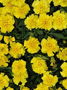 Fotos Tagetes Großansicht Gelb Blumen
