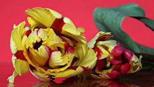 Bilder Tulpen Hautnah Roter Hintergrund Zwei Blumen
