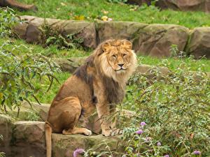 Bilder Große Katze Löwe Sitzend Starren Tiere