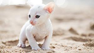 Bilder Katzen Katzenjunges Weiß Cornish Rex