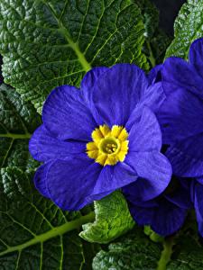 Fotos Primeln Großansicht Blau Blumen