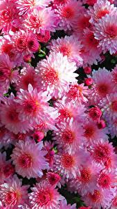 Bilder Chrysanthemen Viel Hautnah Rosa Farbe Blumen
