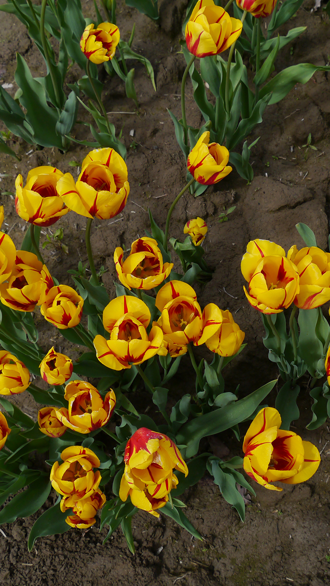 Pictures tulip Yellow Flowers From above 1080x1920 for Mobile phone Tulips flower
