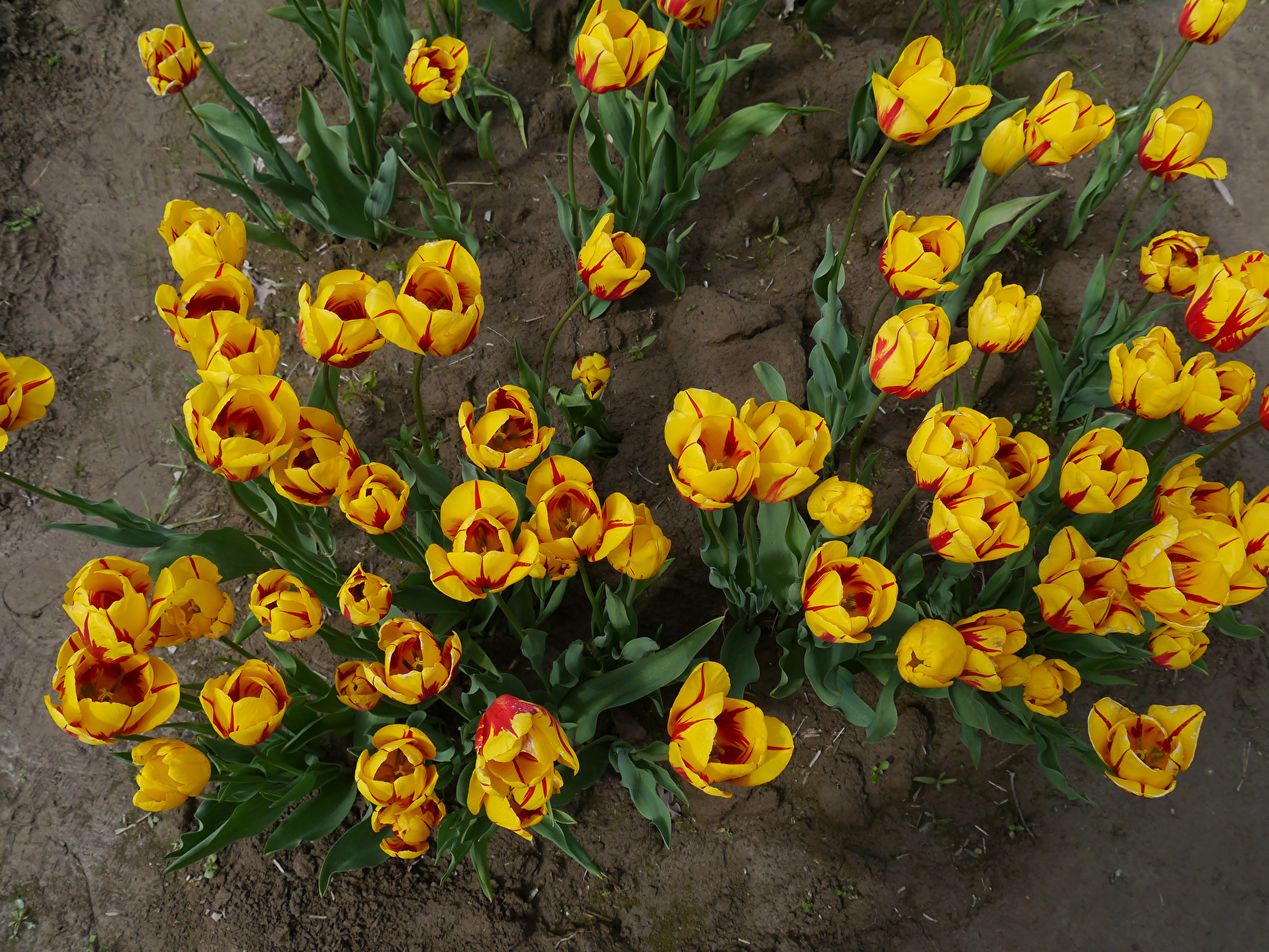 Pictures tulip Yellow Flowers From above 1600x1200 Tulips flower