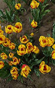 Fotos Tulpen Von oben Gelb Blumen