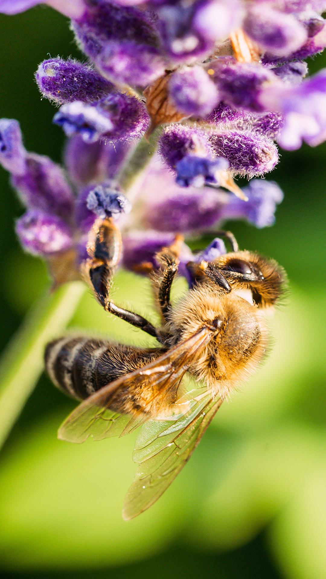 Bilder Bienen Insekten unscharfer Hintergrund Lavendel ein Tier Großansicht 1080x1920 für Handy Bokeh Tiere hautnah Nahaufnahme