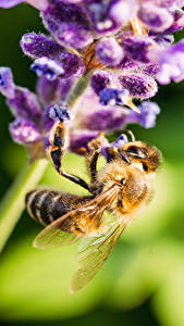 Images Closeup Lavender Bees Insects Bokeh Animals