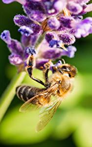 Bilder Großansicht Lavendel Bienen Insekten Bokeh Tiere