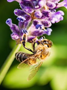 Fonds d'écran En gros plan Lavande Abeilles Insectes Bokeh Animaux