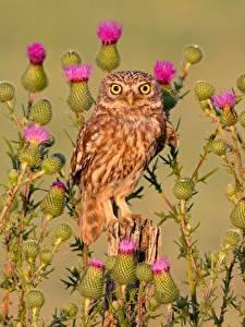 Bilder Eule Vögel Starren little owl, thistle