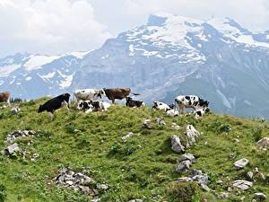 Hintergrundbilder Steine Gebirge Kuh Grünland Gras Herde ein Tier