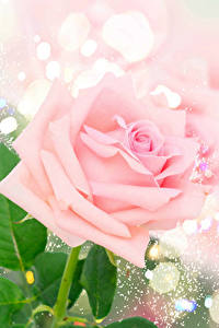 Bilder Rose Nahaufnahme Rosa Farbe Blüte