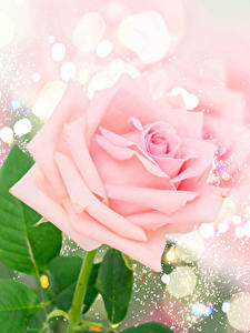 Bilder Rosen Großansicht Rosa Farbe
