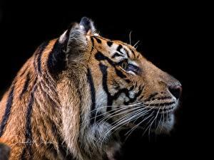 Hintergrundbilder Tiger Kopf Schwarzer Hintergrund Tiere