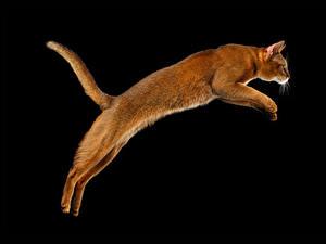 Fotos Katze Schwarzer Hintergrund Sprung Schwanz Tiere