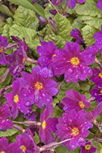 Fotos Schlüsselblumen Großansicht Tropfen Violett Blumen