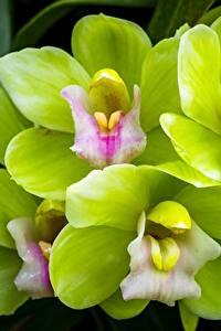 Hintergrundbilder Orchideen Hautnah Grün Hellgrüne Blumen