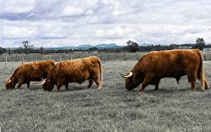 Pictures Bulls Three 3 Grass Animals