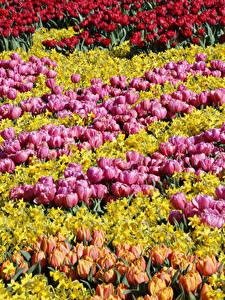 Fotos Niederlande Park Tulpen Narzissen Viel Keukenhof Blumen