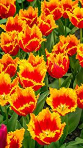 Fotos Tulpen Großansicht Blumen