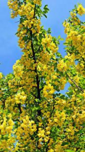 Hintergrundbilder Blühende Bäume Ast Gelb Yellow acacia Blüte