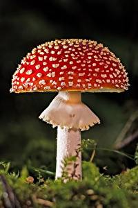 Bilder Pilze Natur Wulstlinge Großansicht Laubmoose
