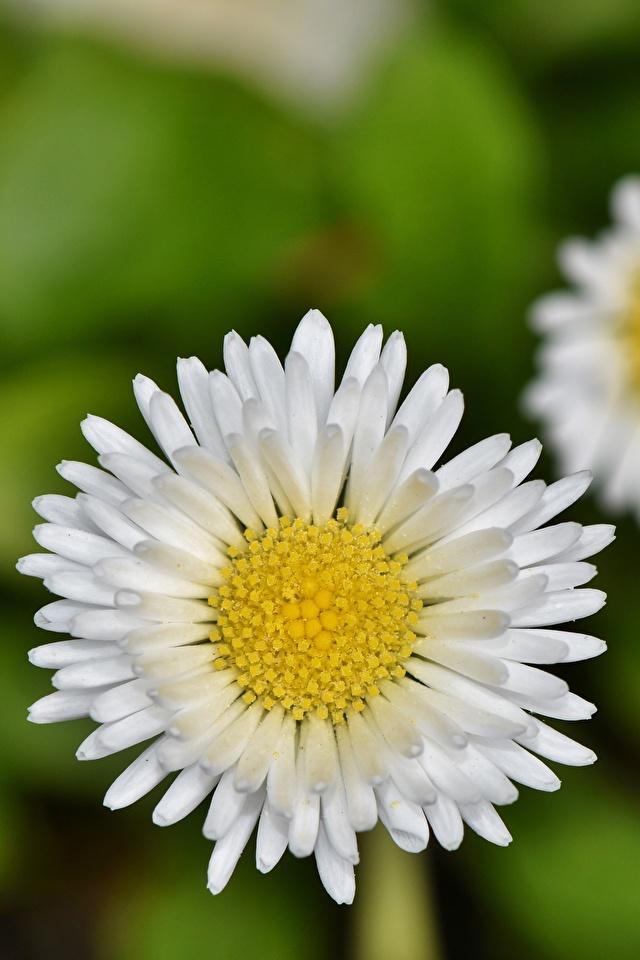 Desktop Hintergrundbilder Bokeh Weiß Blüte Gänseblümchen Großansicht 640x960 für Handy unscharfer Hintergrund Blumen hautnah Nahaufnahme