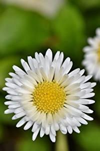 Papel de Parede Desktop Bellis De perto Fundo desfocado Branco flor