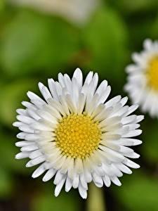Bakgrundsbilder på skrivbordet Bellis Närbild Suddig bakgrund Vit blomma