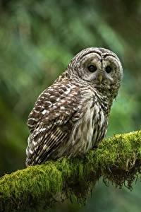 Hintergrundbilder Eulen Vögel Ast Blick strix varia
