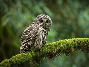 Hintergrundbilder Eulen Vögel Ast Blick strix varia Tiere