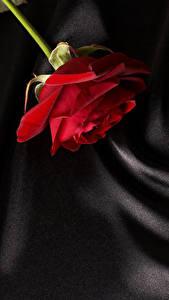 Hintergrundbilder Rose Hautnah Rot Blüte