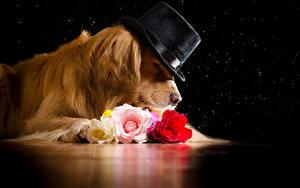 Bilder Hunde Golden Retriever Rosen Der Hut