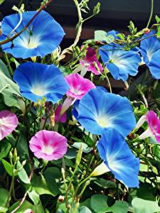 Hintergrundbilder Winden Nahaufnahme Blau Blüte