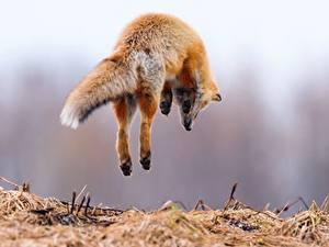 Bilder Füchse Sprung Tiere