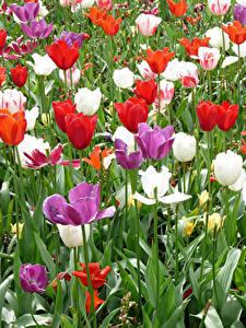 Bilder Niederlande Park Tulpen Keukenhof Blumen