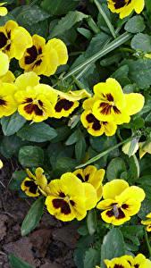 Fotos Muttergottesschuh Großansicht Gelb Blumen