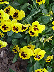 Pictures Heartsease Closeup Yellow Flowers