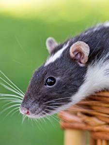 Fotos Ratten Hautnah Schnurrhaare Vibrisse Weidenkorb Tiere