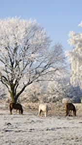 Hintergrundbilder Winter Pferde Bäume Drei 3