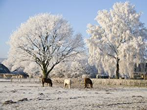 Images Winter Horses Trees Three 3 Nature