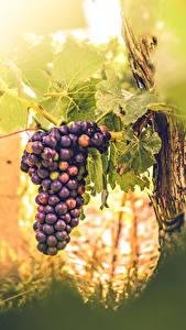 Fotos Weintraube Blattwerk