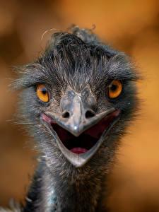 Fotos Vogel Strauß Hautnah Starren Kopf Unscharfer Hintergrund Tiere