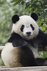 Fotos Pandas Blick Sitzt Tiere